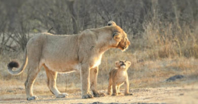 Asiatic Lion with cub