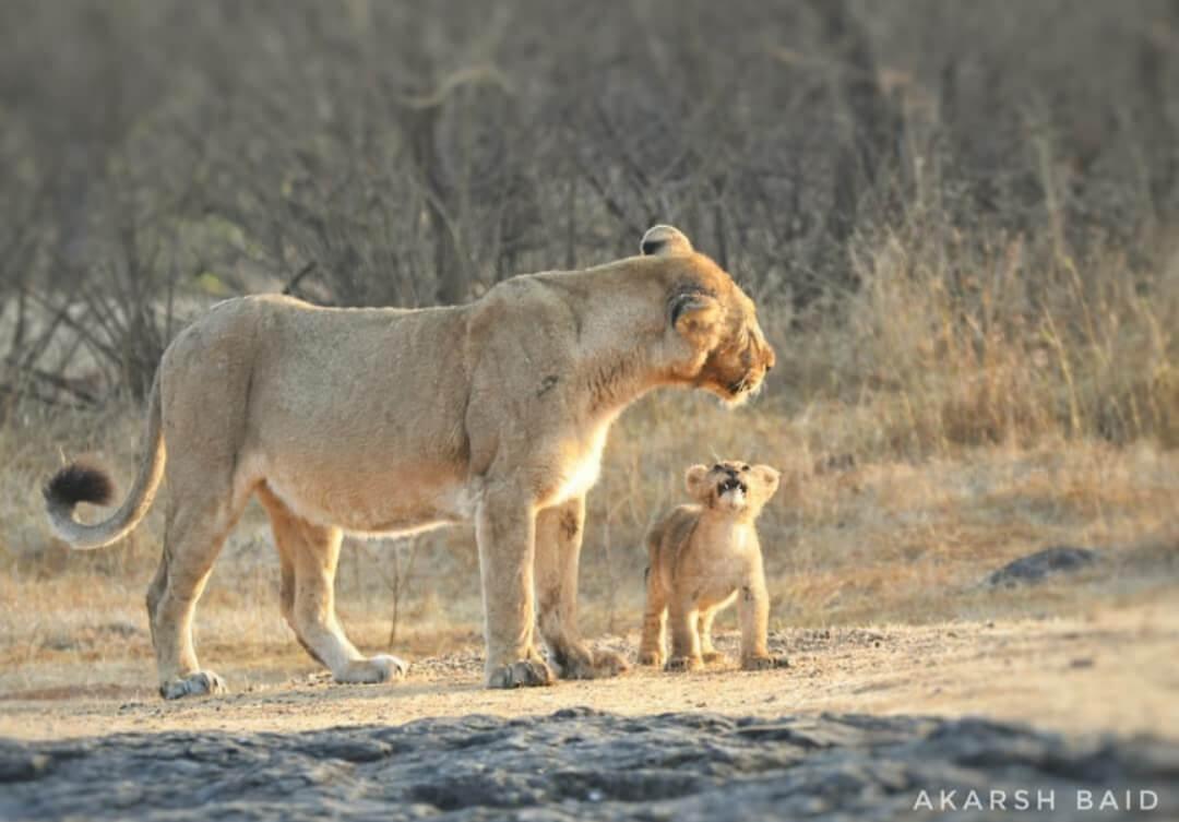 Asiatic Lion – Interesting facts, diet, habitat, Threats, & Population in 2020