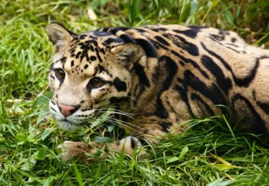 Clouded Leopards in India