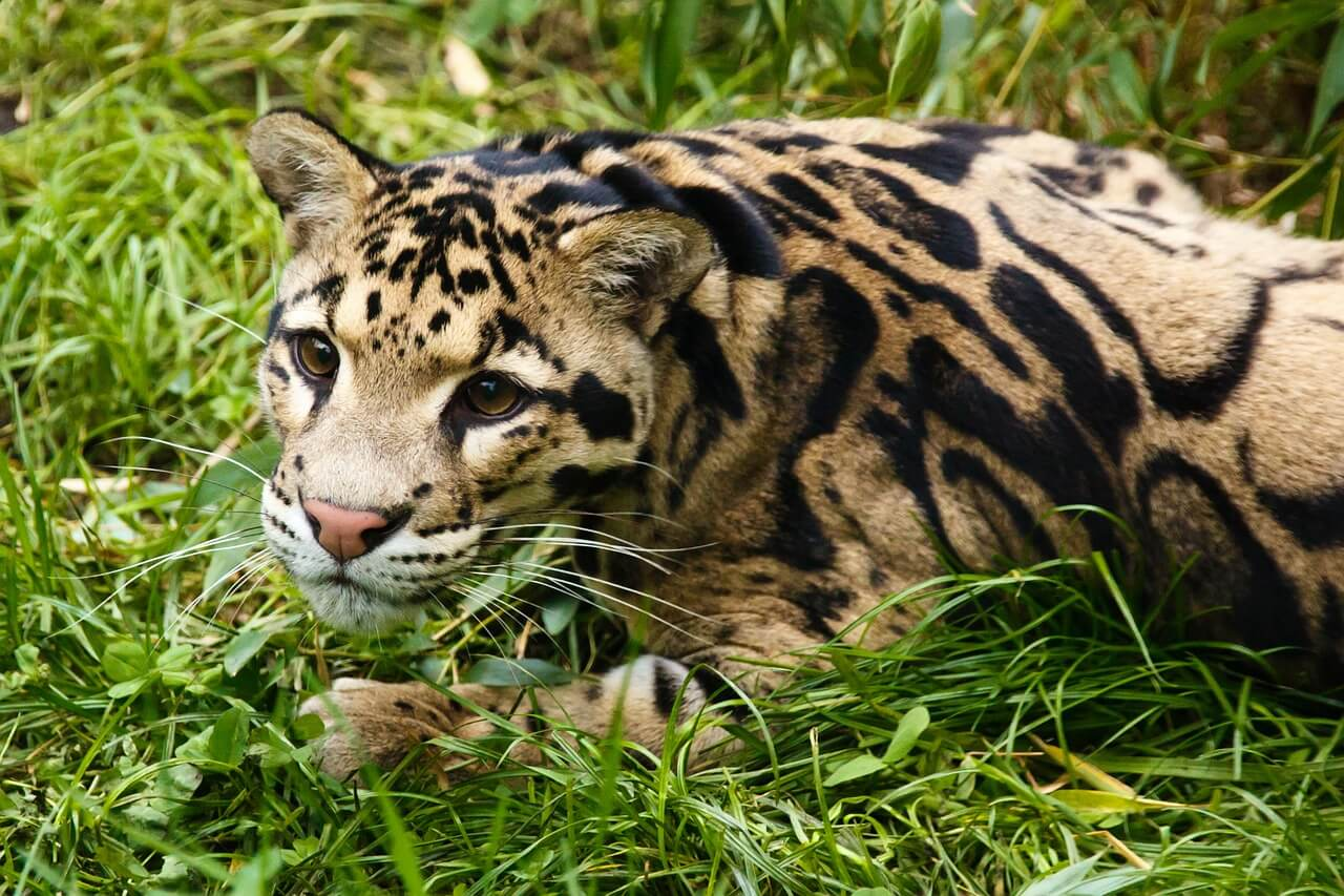 Clouded Leopard – Diet, Habitat, and facts