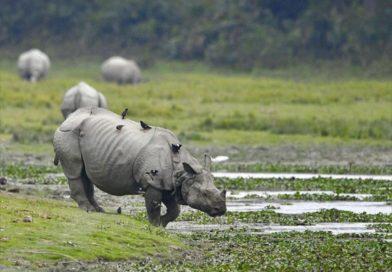 Endangered One-Horned Rhino