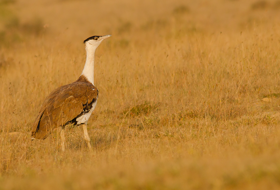 Critically Endangered Great Indian Bustard