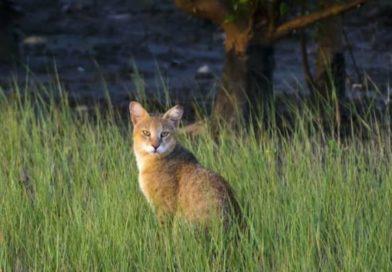 Jungle Cats India