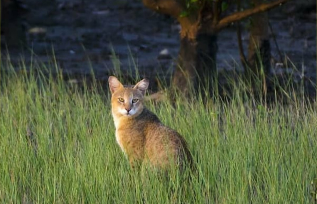 Jungle Cat – Habitat, Diet, Facts, and Where to see them