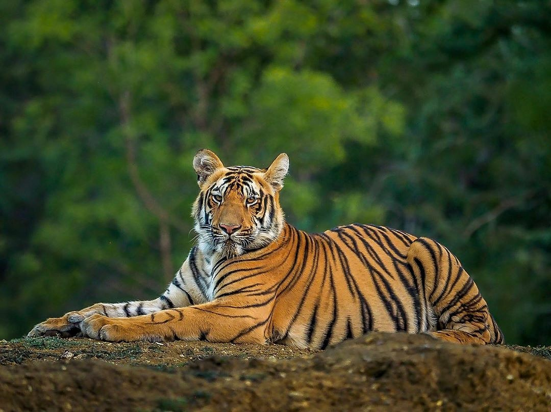 Wildlife Safari in the Indian Jungle | Tiger Safari India
